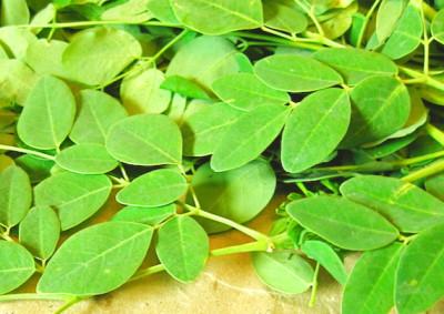 Vitalstoo-Feuerwerk Moringa-Blätter